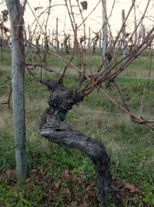 Oldest vines of the vineyard.