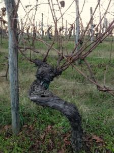 Oldest vines of the vineyard.