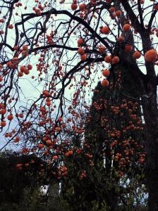 Persimmon tree.